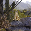 Coyote On A Rock - Stock Photo