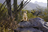 Coyote On A Rock — Stock Photo