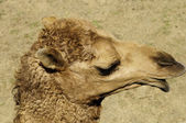 A close up of a camel's head — Stock Photo