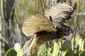 Great horned owl in flight, wings showing motion — Stock Photo