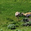 Stock Photo: Antelope at Yellowstone National Park