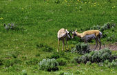 Antelope at Yellowstone National Park — Stock Photo