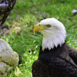 Stock Photo: AmericBald Eagle