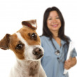 Jack Russell Terrier and Female Veterinarian Behind — Stock Photo #6593152