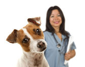 Jack Russell Terrier and Female Veterinarian Behind — Stock Photo