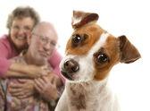 Retrato de um adorável jack terrier de russell — Foto Stock