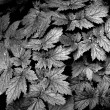 Black and White Leaves — Stock Photo