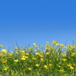 Buttercups in field — Stock Photo #6170735