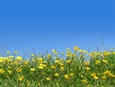 Buttercups in field — Stock Photo