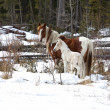 Stock Photo: AlbertWild Horses