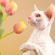Cornish Rex Cat — Stock Photo