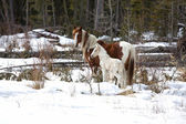 Alberta Wild Horses — Stock Photo