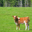Young Calf — Stock Photo #5602957
