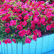 Stock Photo: Vibrant Petunias