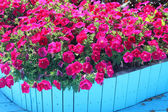 Vibrant Petunias — Stock Photo