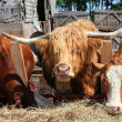 Stock Photo: Barnyard Cattle