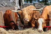 Barnyard Cattle — Stock Photo