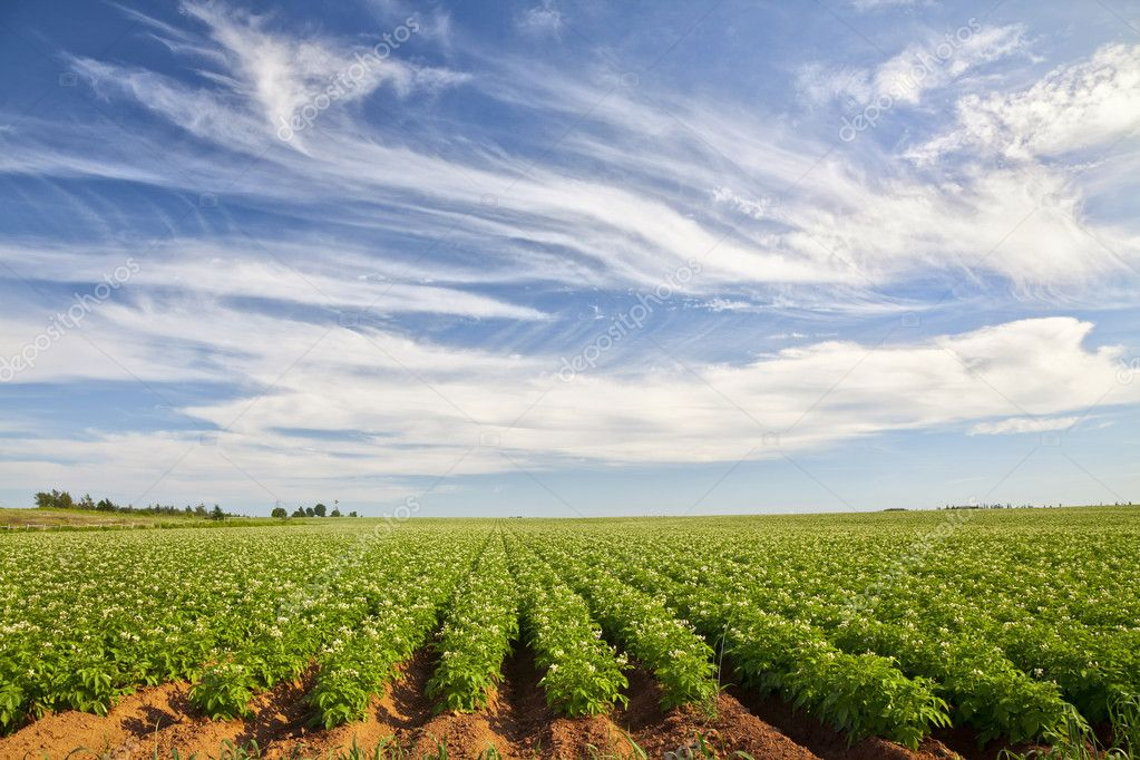 Potato Field in rural Prince Edward Island, Canada — Stock Photo #6015998