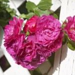 Arbor Roses — Stock Photo #6103644