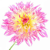 Cactus Dahlia — Stock Photo