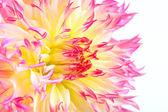Cactus Dahlia — Stock Photo