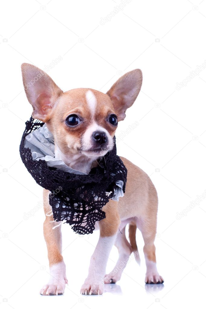 Curious puppy Chihuahua wearing a black cloth collar on a white background — Stock Photo #5435916