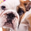 Closeup picture of a cute english bulldog puppy - Stock Photo