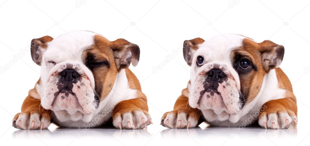Two poses of a very cute english bulldog sitting on a white background — Stock Photo #5686263