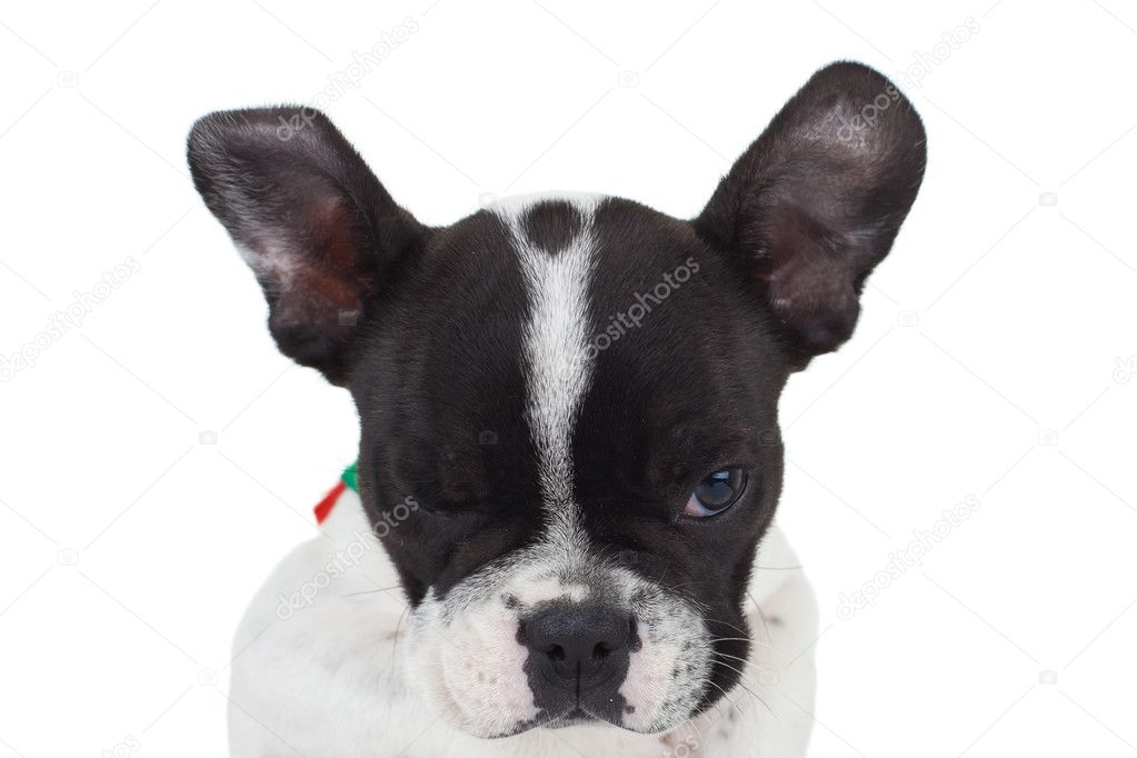 French bulldog winking for the camera, over white — Stock Photo #5802294