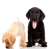 Two cute labrador puppies — Stock Photo