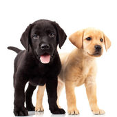 Twee cute labrador puppies — Stockfoto