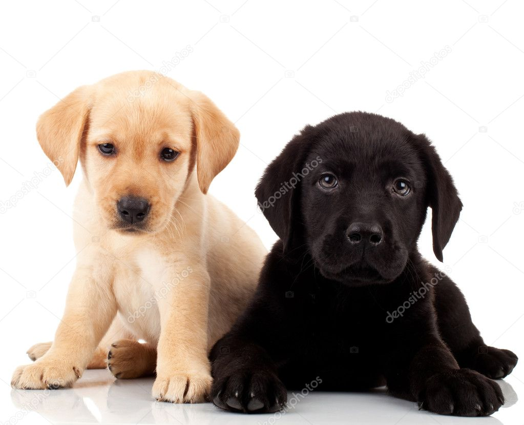 Two cute labrador puppies - both very sad , looking at the camera — Stock Photo #6255905