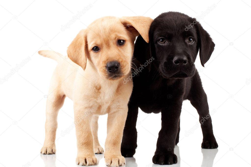 两个可爱的拉布拉多小狗