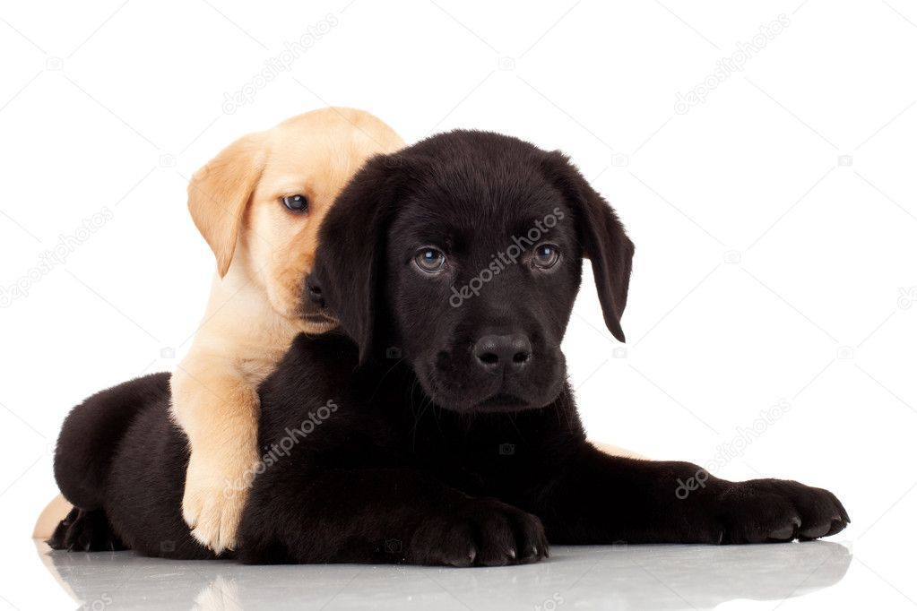 Two cute labrador puppies - playing together on white background  Stock Photo #6255919