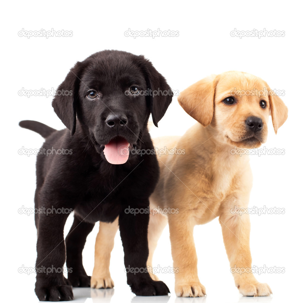 Two cute labrador puppies - one with mouth open and one looking away — Stock Photo #6255929