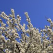 Cherry blossom trees in bloom - Stock Photo