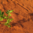 Lonely plant on red soil — Stok fotoğraf