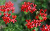 Red geranium — Foto de Stock