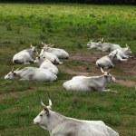 Hungarian grey cattles — Stock Photo