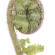 Curled fern frond over white — Stock Photo #5558921