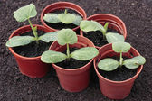 Vegetable seedlings closeup growing in pots in spring — Stock Photo