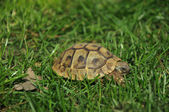 Forest turtle — Stock Photo