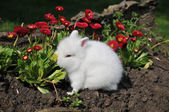 White rabbit in red flowers — Stock Photo