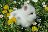 White rabbit in the yellow flowers — Stock Photo