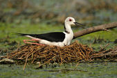 Vlastelica, the birds nest, water, nest, eggs, birds, black and white bird — Stock Photo