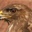Stock Photo: Portrait of predator buzzard