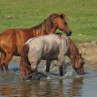 Stock Photo: Horses on river