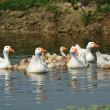 Geese in the Pond — Stock Photo #5990794