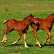 Two brown foals — Stockfoto
