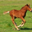 Foal on pasture — Stock Photo